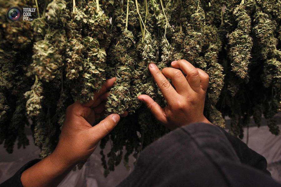 marijuana03 Марихуана в США