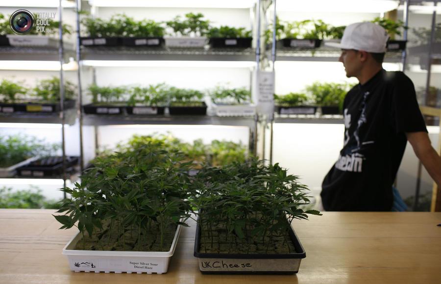 marijuana06 Марихуана в США