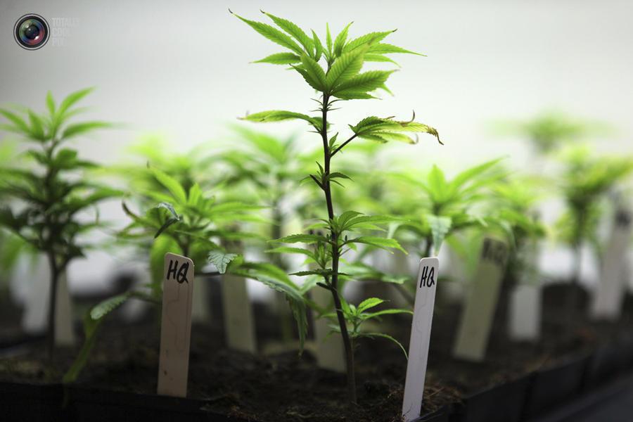 marijuana11 Марихуана в США
