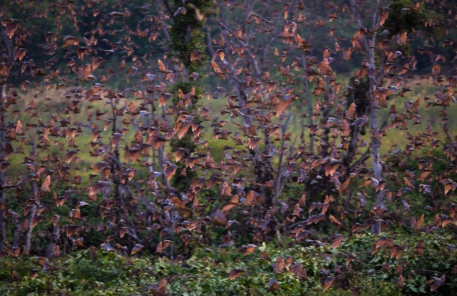 mifration01 Миграция летучих мышей