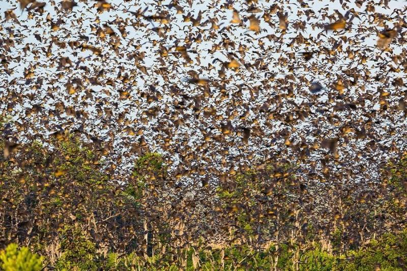 mifration04 800x533 Миграция летучих мышей