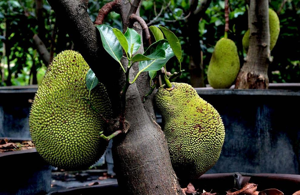 neobichniefrukti 11 Топ 10 самых необычных фруктов