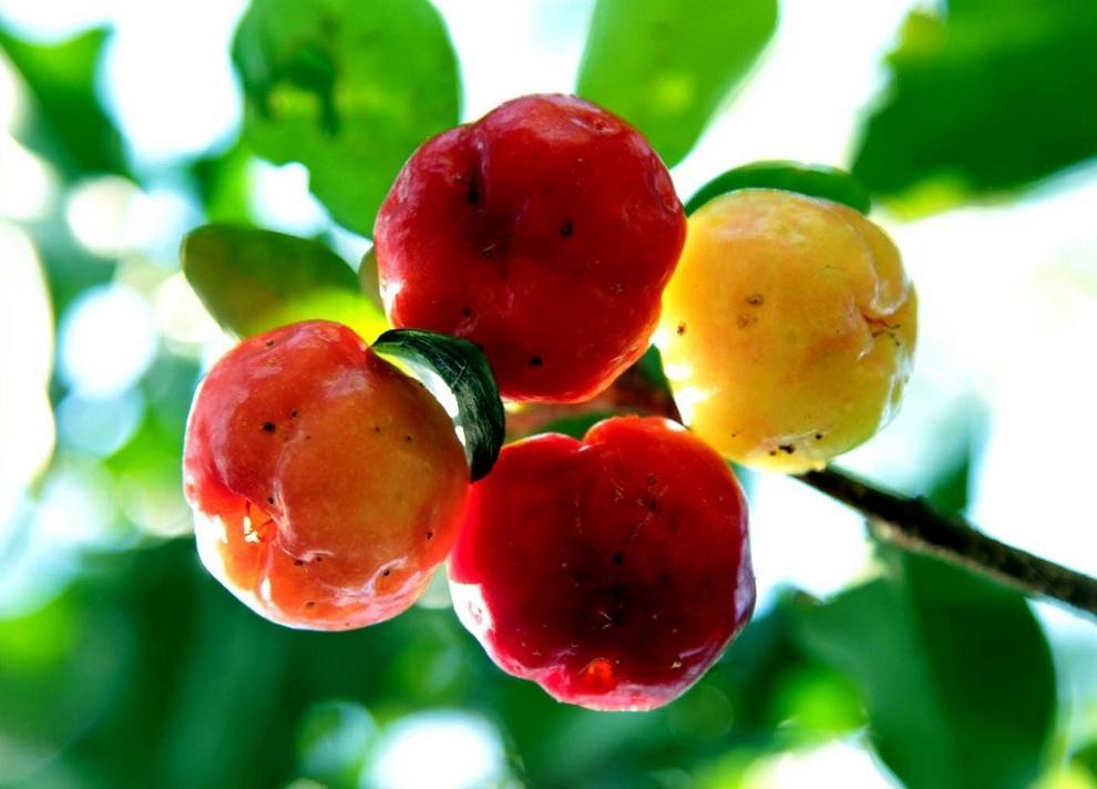 neobichniefrukti 13 Топ 10 самых необычных фруктов