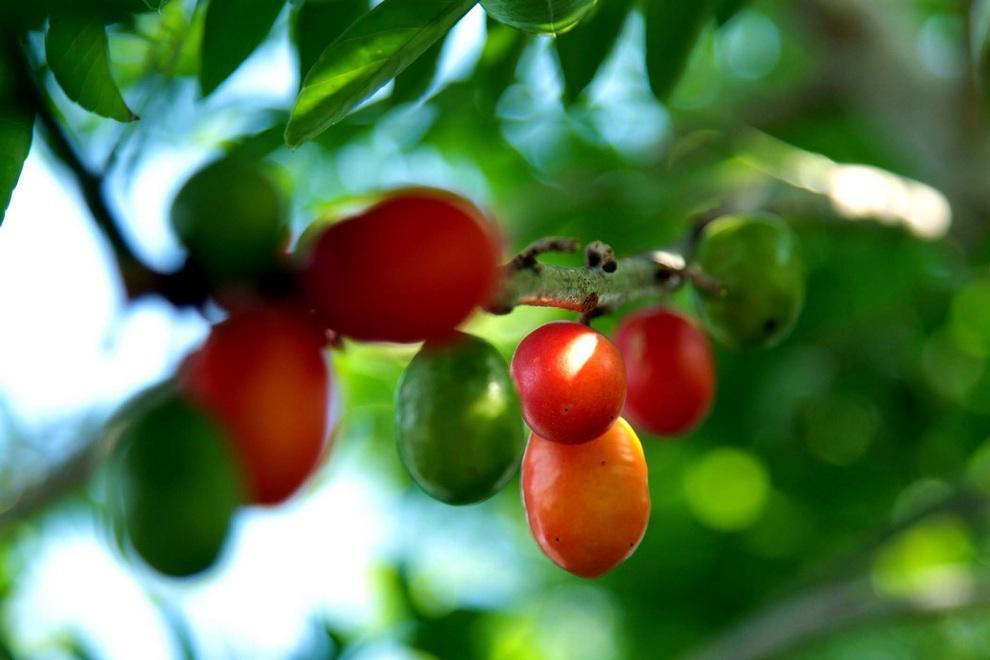 neobichniefrukti 19 Топ 10 самых необычных фруктов