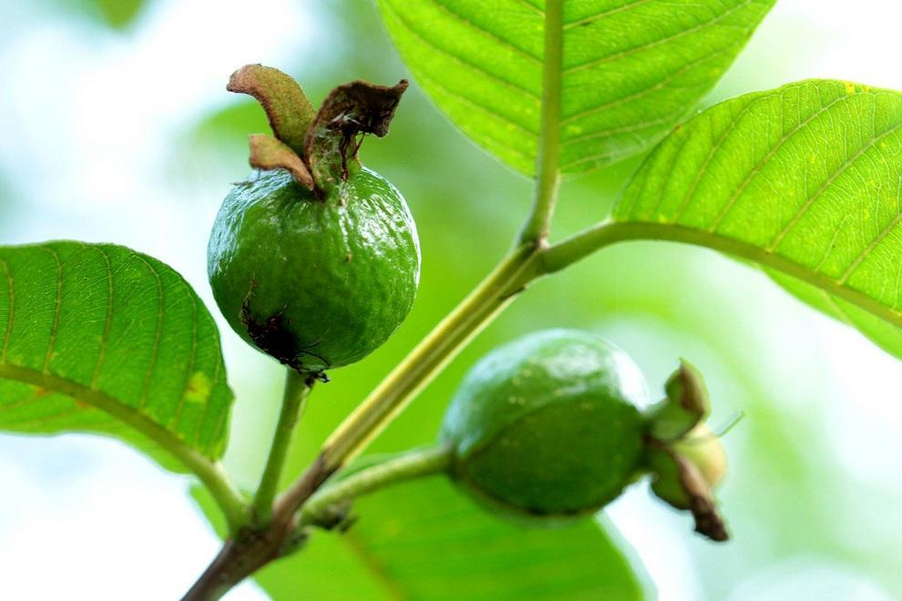 neobichniefrukti 5 Топ 10 самых необычных фруктов