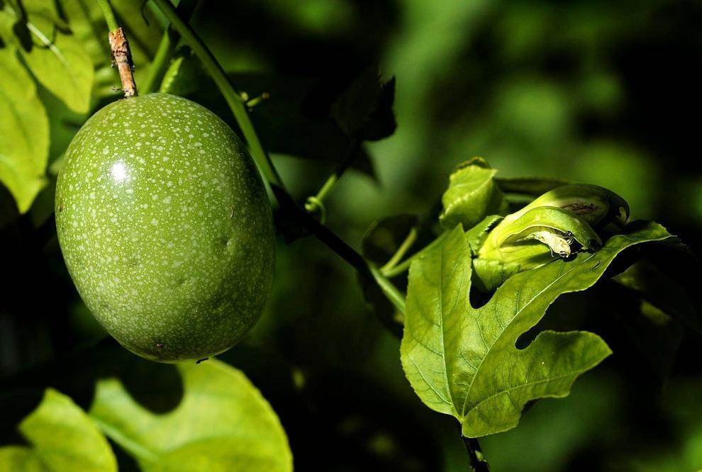 neobichniefrukti 9 Топ 10 самых необычных фруктов