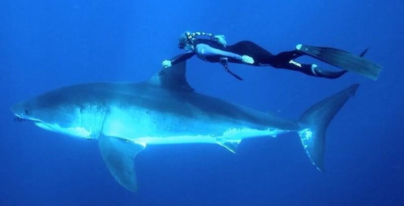 onshark01 800x409 Катание на большой белой акуле