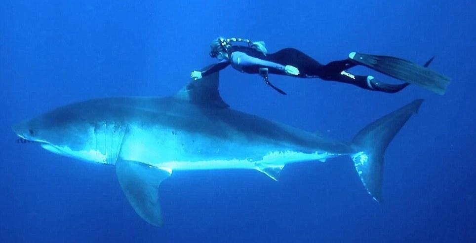 onshark01 Катание на большой белой акуле