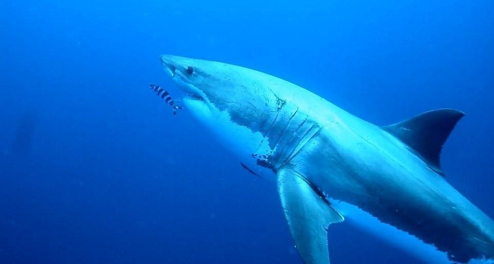 onshark05 Катание на большой белой акуле