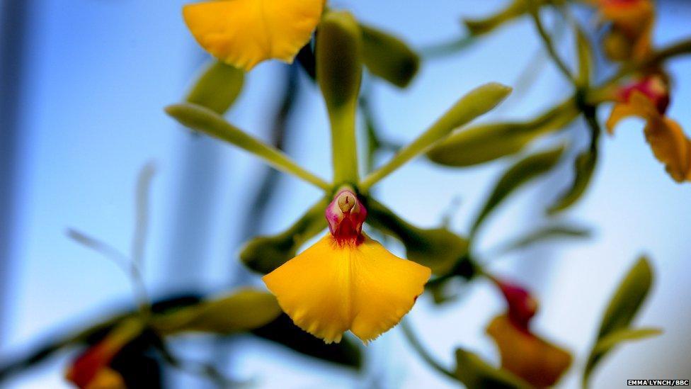 orchids07 Экзотические орхидеи