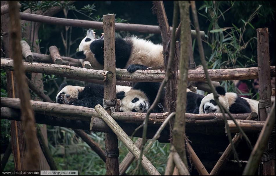 panda03 Про сытое царство лени