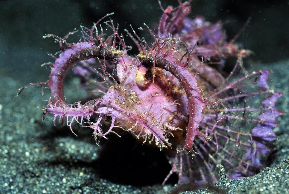 prichudlivieribi 1 Топ 10 самых причудливых рыб мирового океана