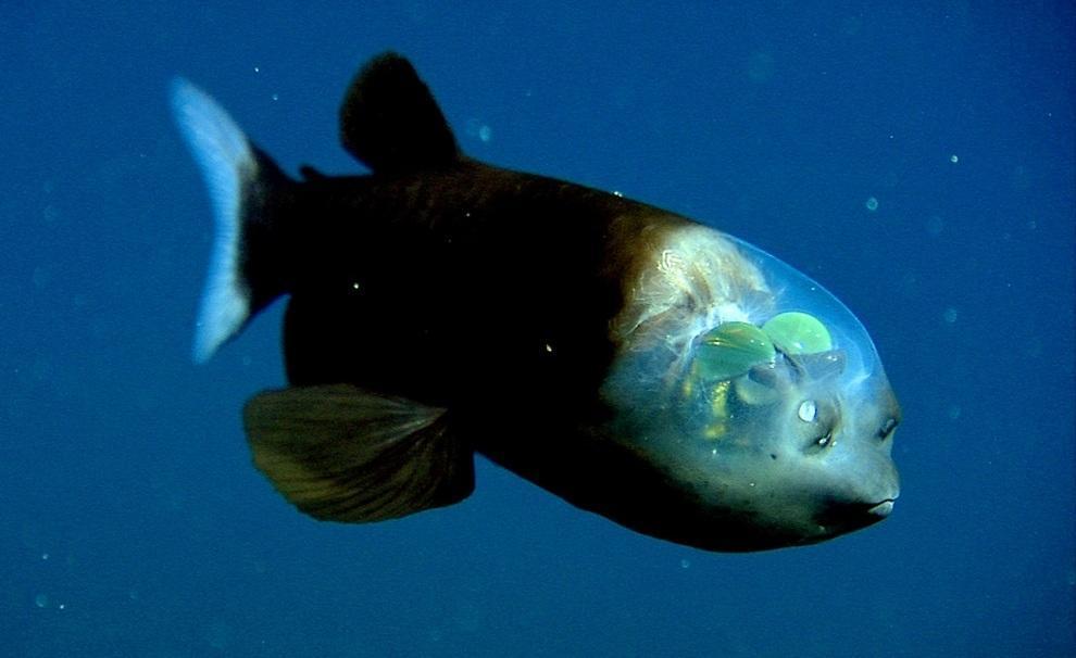 prichudlivieribi 10 Топ 10 самых причудливых рыб мирового океана