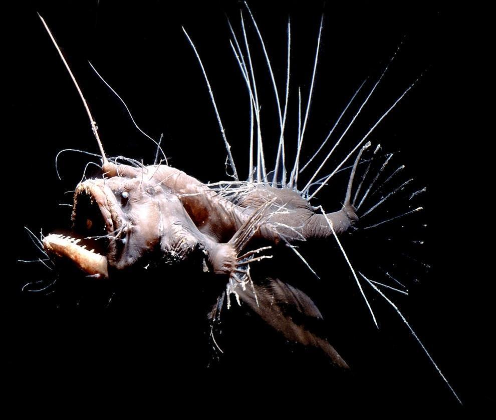 prichudlivieribi 8 Топ 10 самых причудливых рыб мирового океана