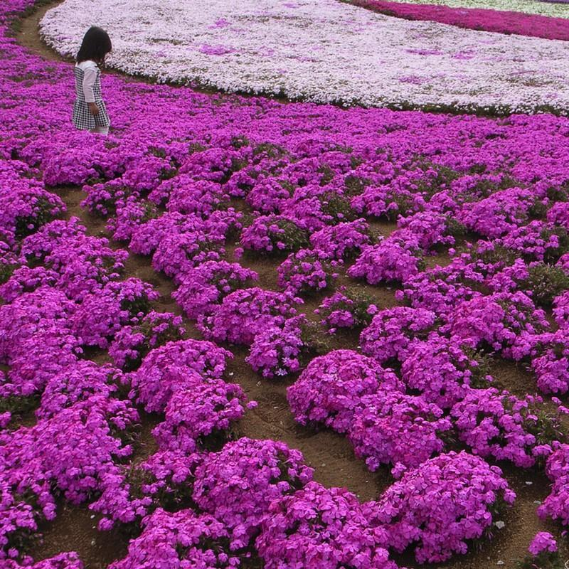 shibazakura06 Буйство красок травяной сакуры