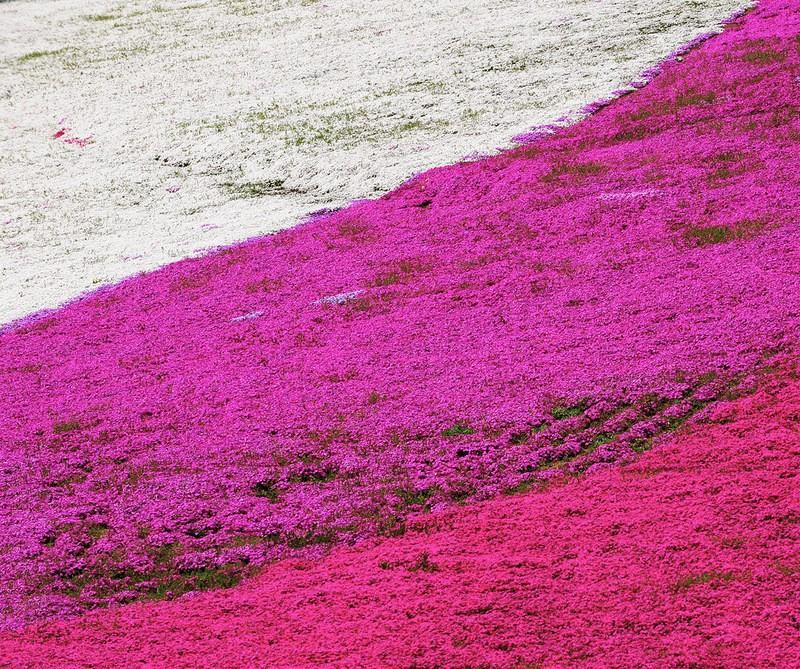 shibazakura09 Буйство красок травяной сакуры