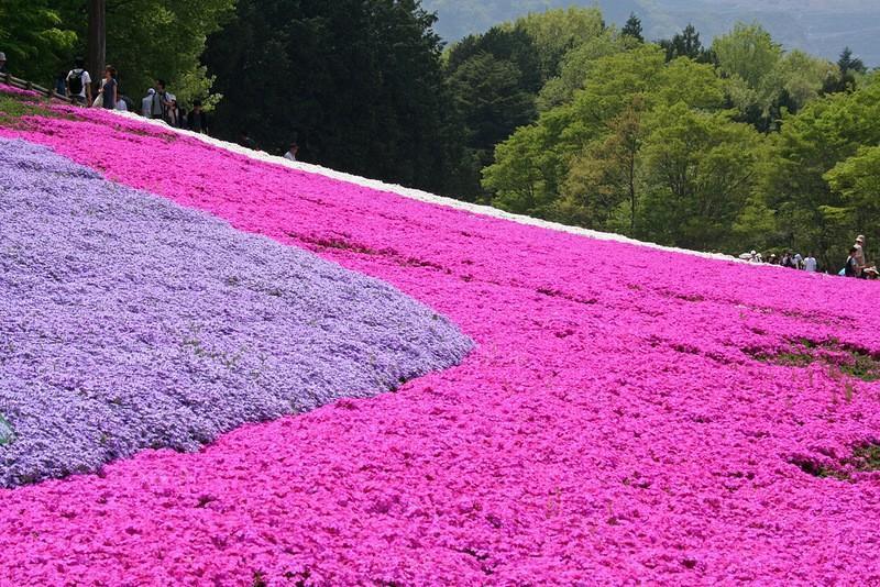 shibazakura10 Буйство красок травяной сакуры