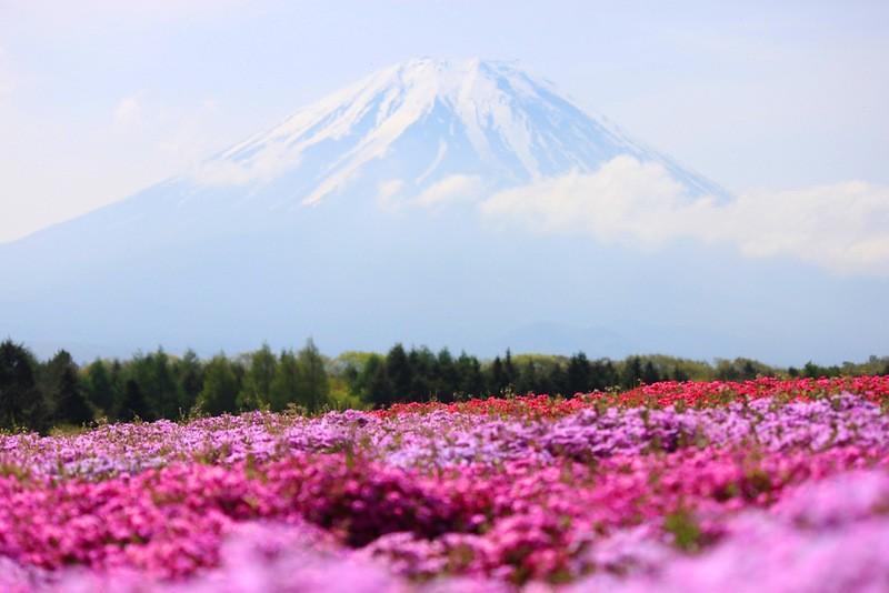 shibazakura12 Буйство красок травяной сакуры