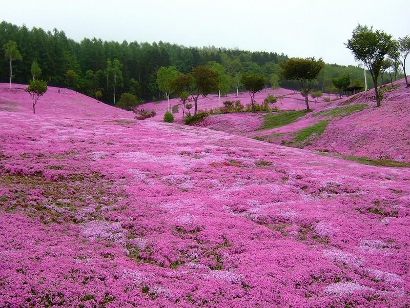 shibazakura14 Буйство красок травяной сакуры