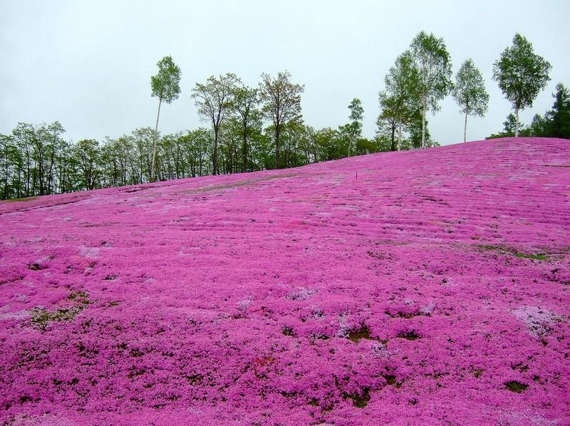 shibazakura15 Буйство красок травяной сакуры