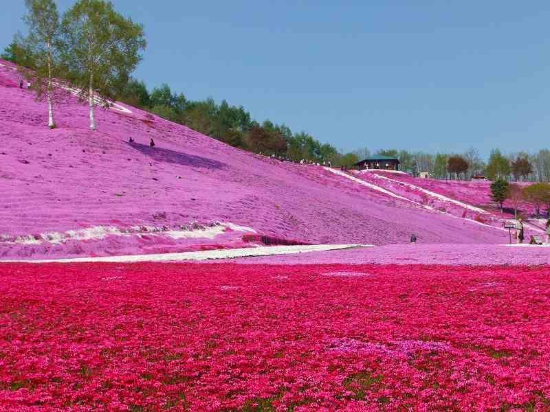 shibazakura20 Буйство красок травяной сакуры