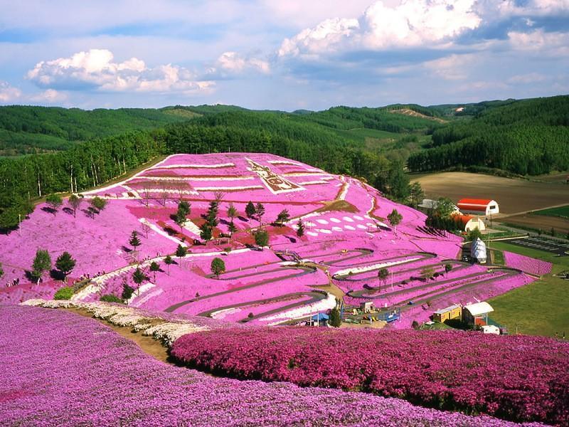 shibazakura21 Буйство красок травяной сакуры