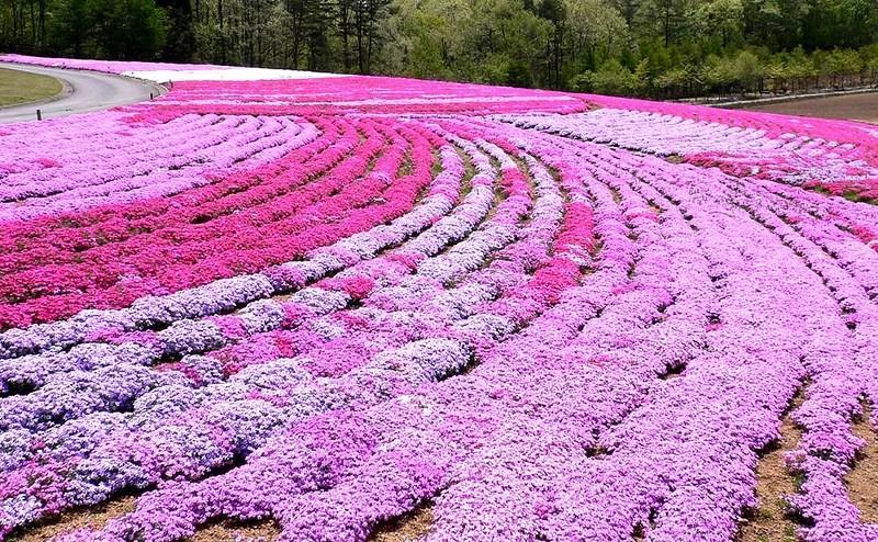 shibazakura22 Буйство красок травяной сакуры