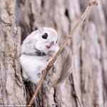 Сибирские белки-летяги – это нечто