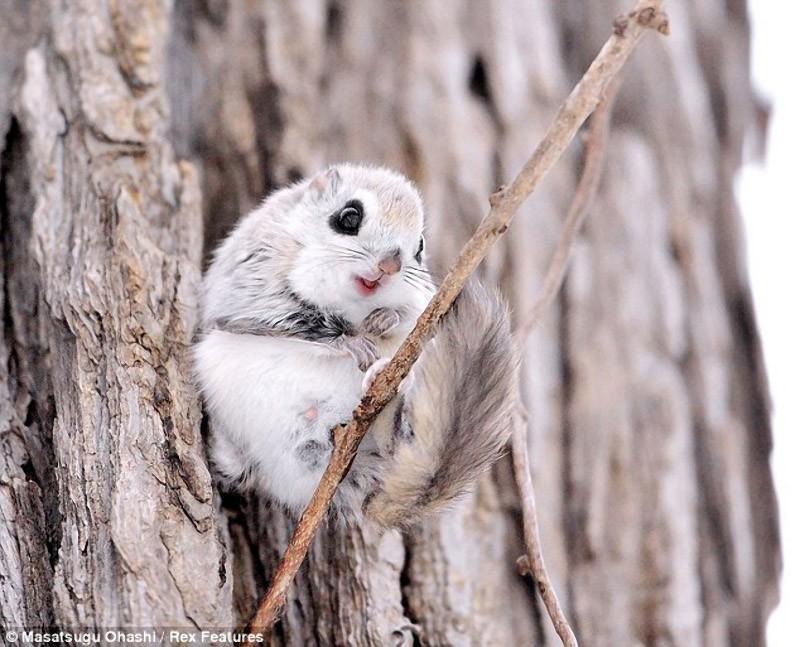 squirrels01 Сибирские белки летяги   это нечто