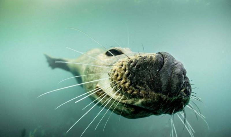 Тюлени в фотографиях Адама Хэнлона
