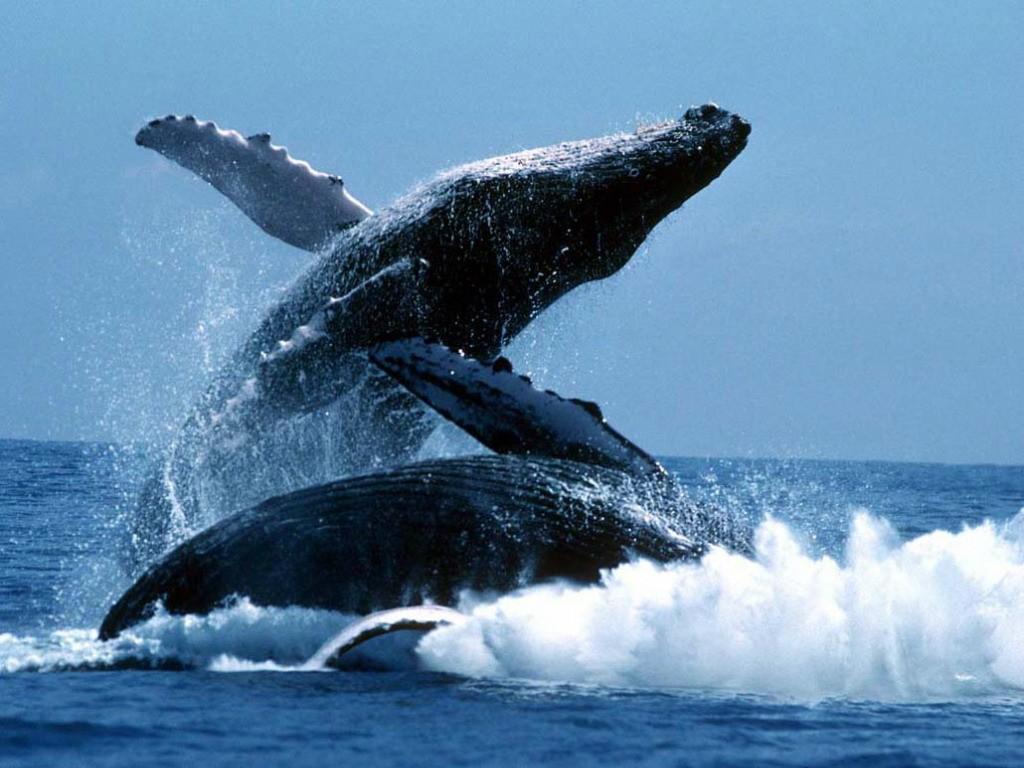...находящегося в маленьком катере и наблюдающего прыжки морских гигантов...