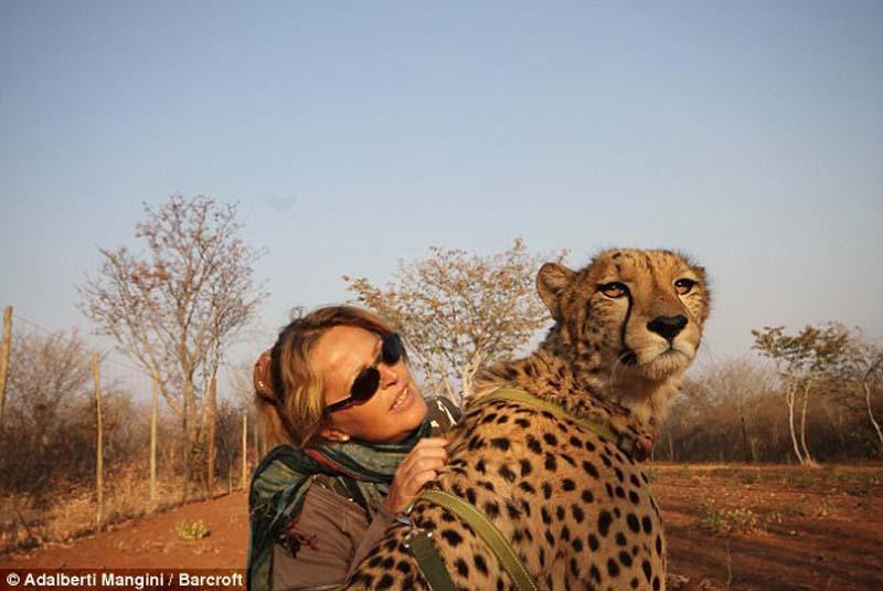Would you play fetch with a LION 5 Хотели бы погулять со львом или гепардом? Тогда учитесь!