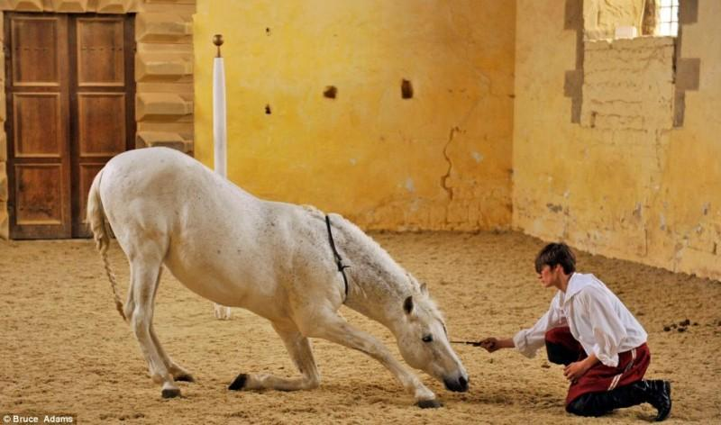 horse ballet school 4 800x472 Балетная школа для лошадей