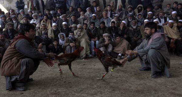 Петушиные бои в Афганистане