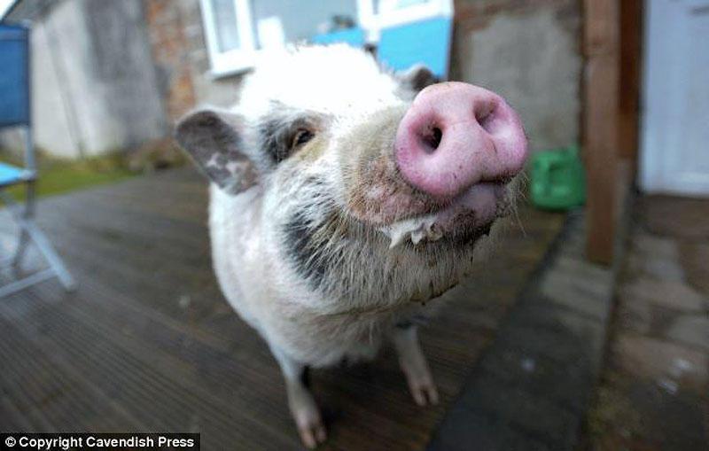 Свинка, которая думает, что она собачка