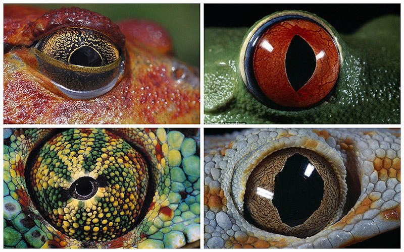 temp16 Глаза амфибий
