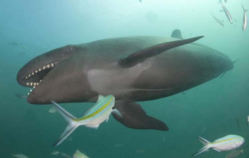 Как и их тезки, ложные касатки, на самом деле, являются дельфинами, а не китами.