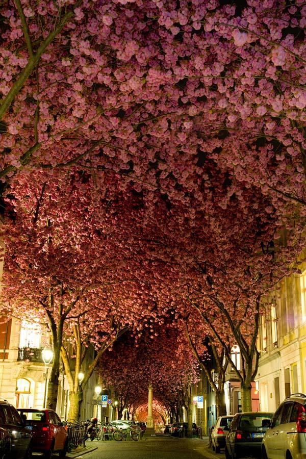 vishnyovicvet 1 Самые красивые цветущие вишни по всему миру