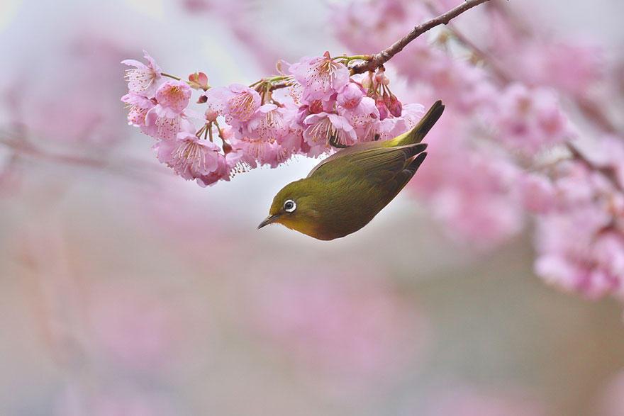 vishnyovicvet 14 Самые красивые цветущие вишни по всему миру