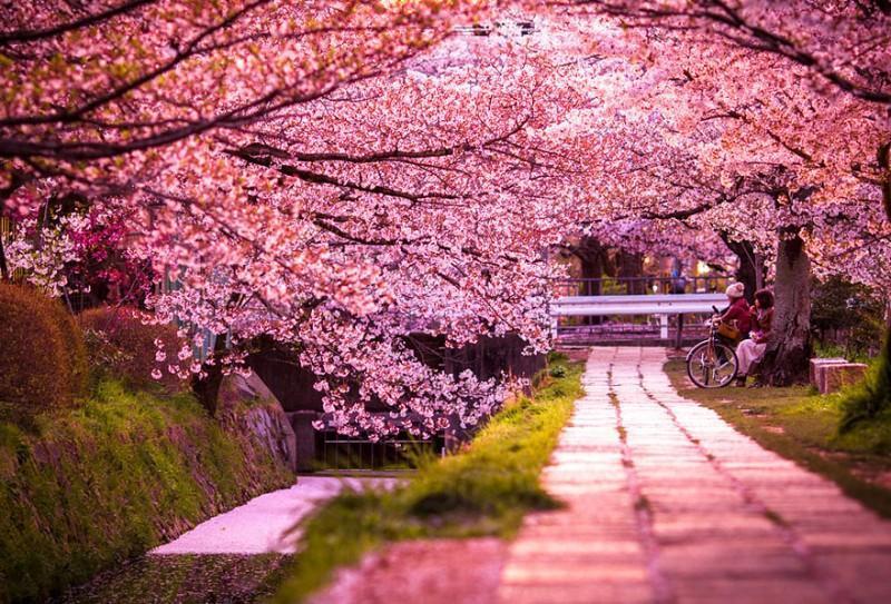 Самые красивые цветущие вишни по всемумиру