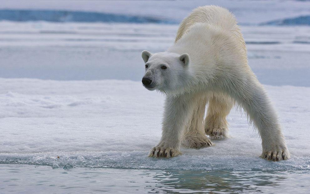 vstrechasbelimmedvedem 1 Встреча с белым медведем