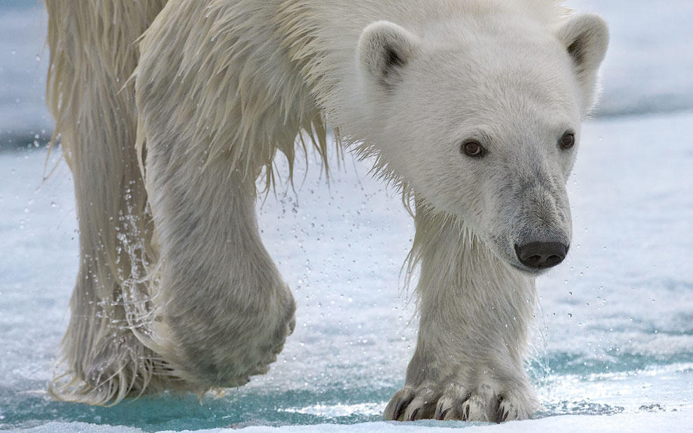 vstrechasbelimmedvedem 10 Встреча с белым медведем