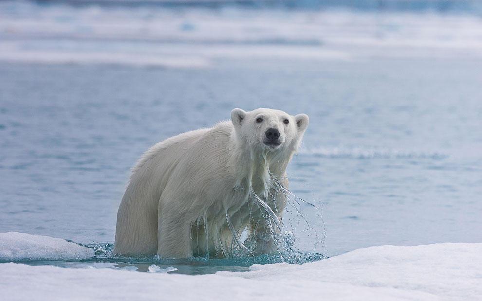 vstrechasbelimmedvedem 4 Встреча с белым медведем