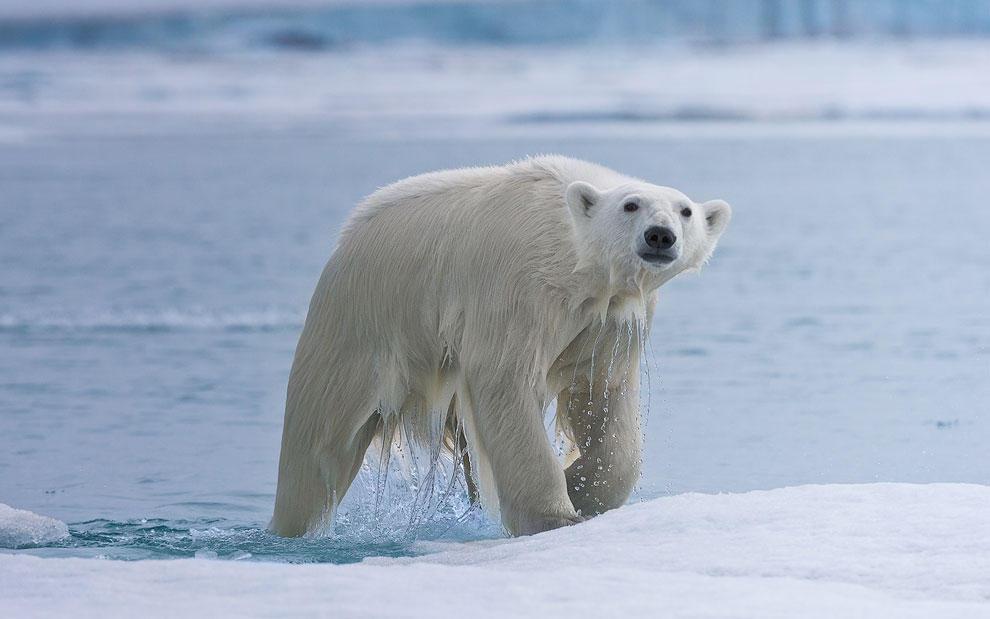 vstrechasbelimmedvedem 5 Встреча с белым медведем