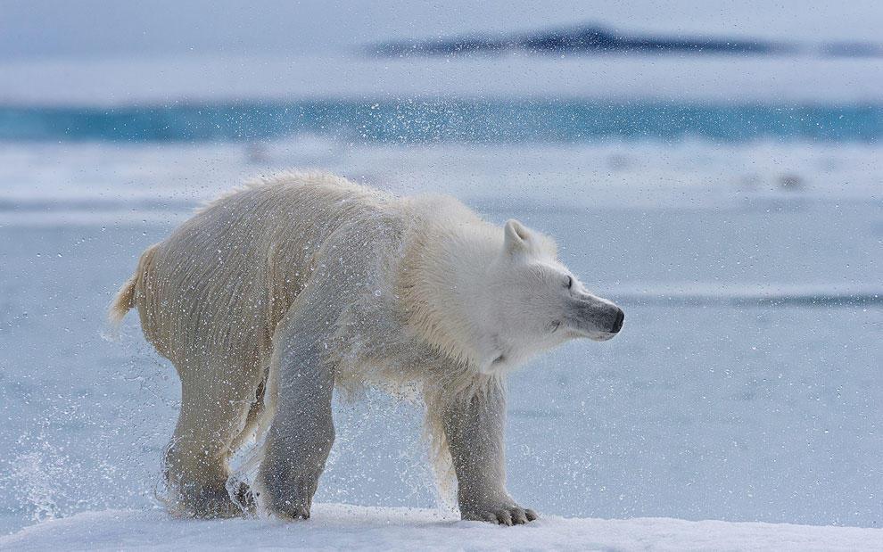 vstrechasbelimmedvedem 6 Встреча с белым медведем