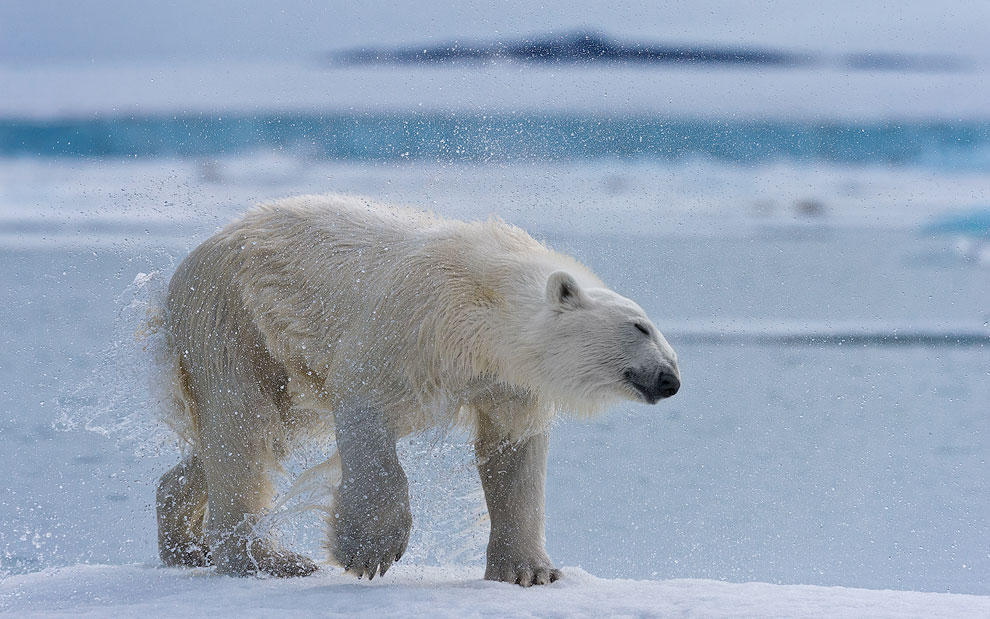 vstrechasbelimmedvedem 7 Встреча с белым медведем