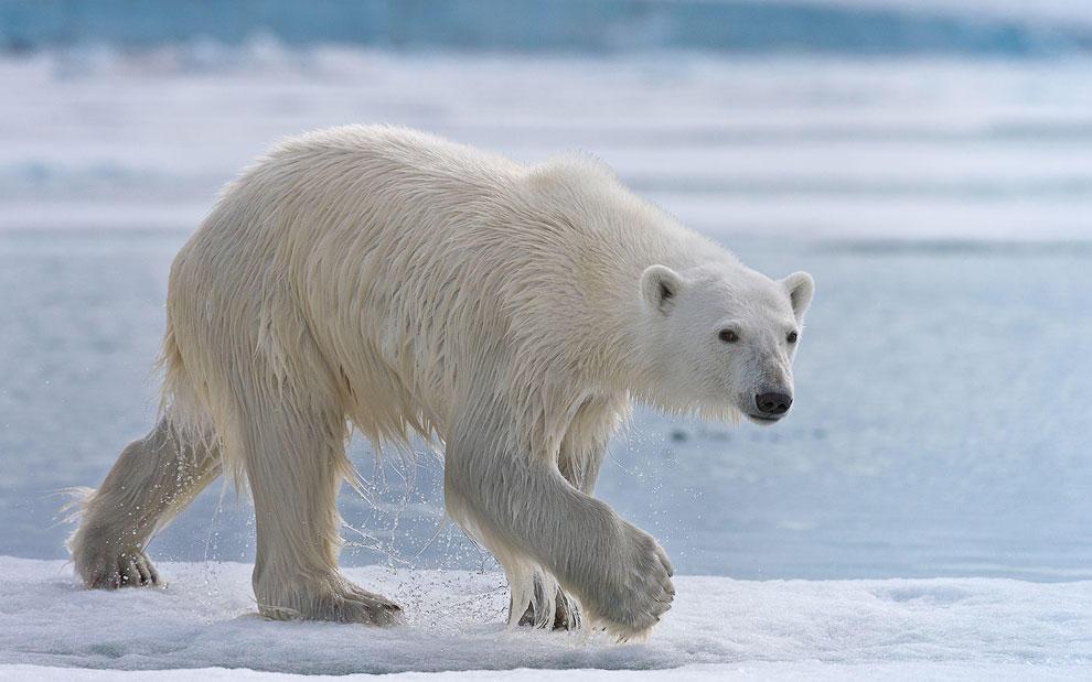 vstrechasbelimmedvedem 8 Встреча с белым медведем