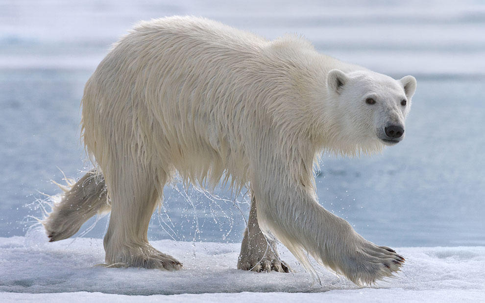 vstrechasbelimmedvedem 9 Встреча с белым медведем