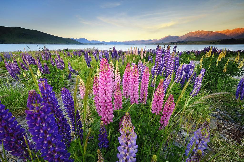 7990062043 0656b1798b b Красочное цветение люпинов на озере Текапо