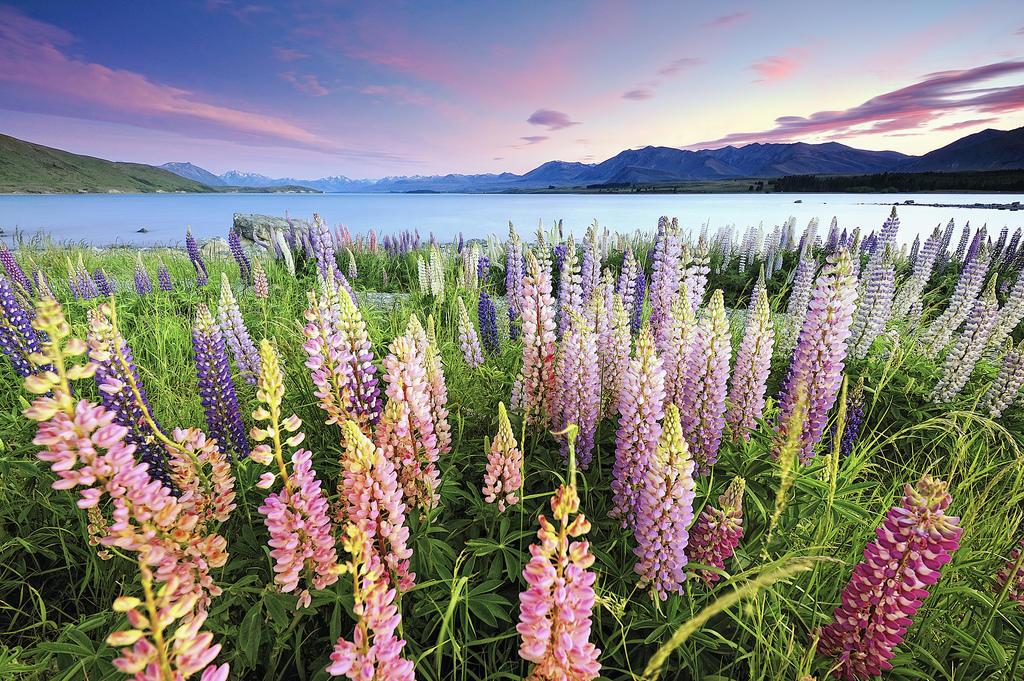 7999622484 97b728bb76 b Красочное цветение люпинов на озере Текапо